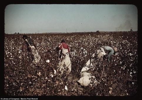 Cotton plantattion